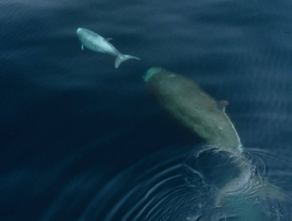 Northern bottlenose whale with calf