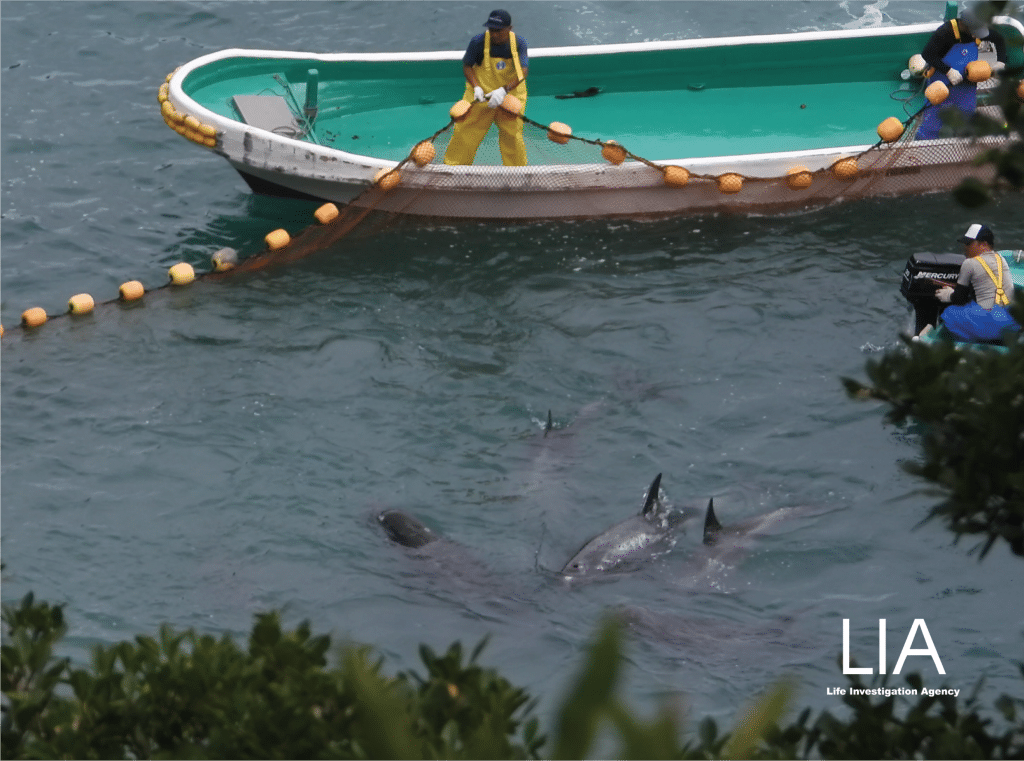 Hunters coralling Risso's dolphins in Taiji