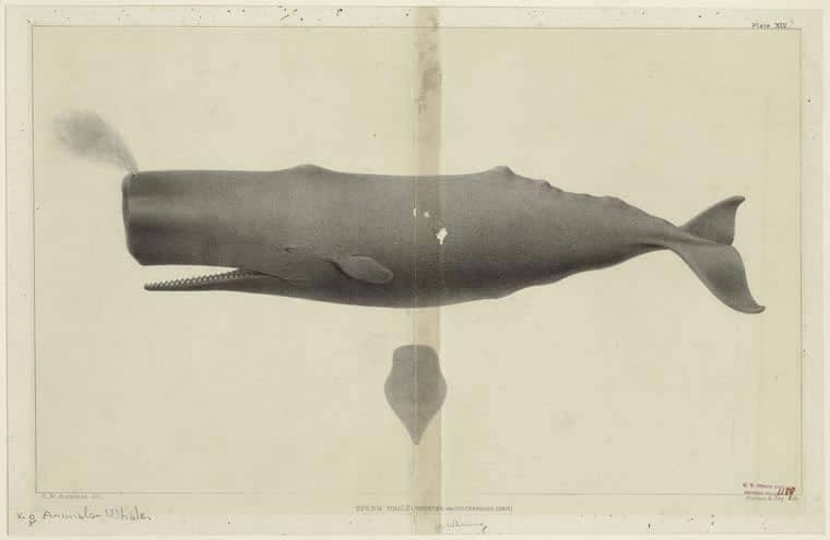 Sperm whale illustration - Digital Public Library of America