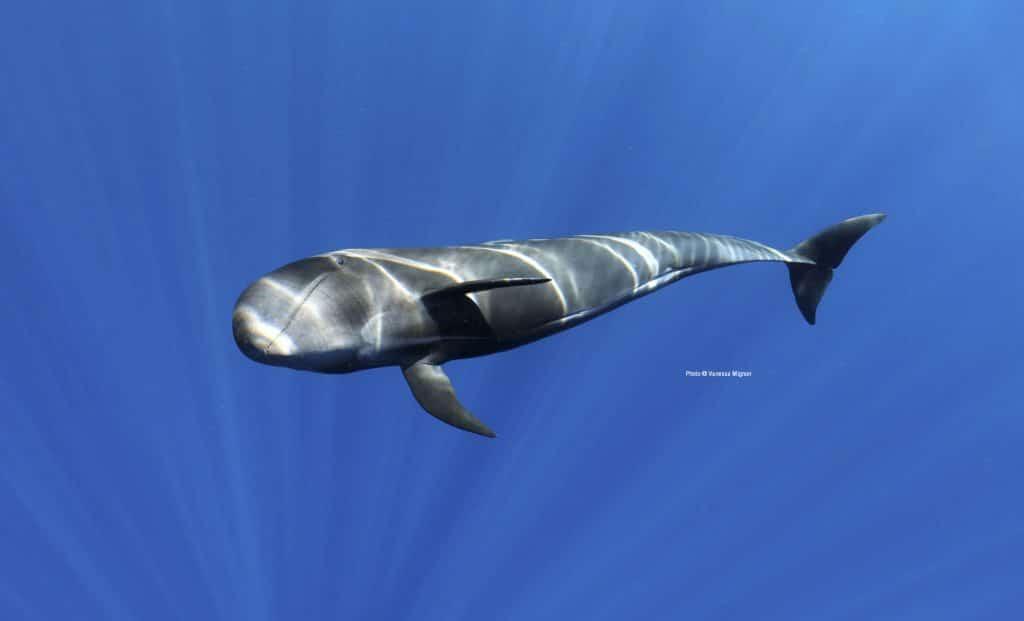 Short-finned pilot whale © Vanessa Mignon