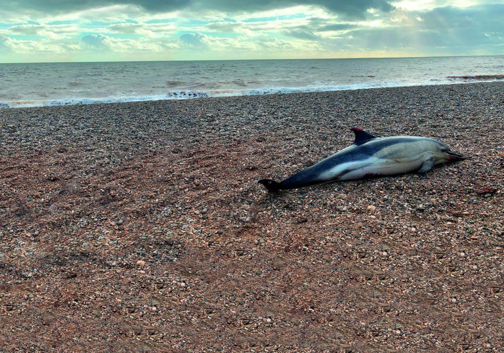 Common dolphin Branscome, Devon. Image CSIP-ZSL and MCGA