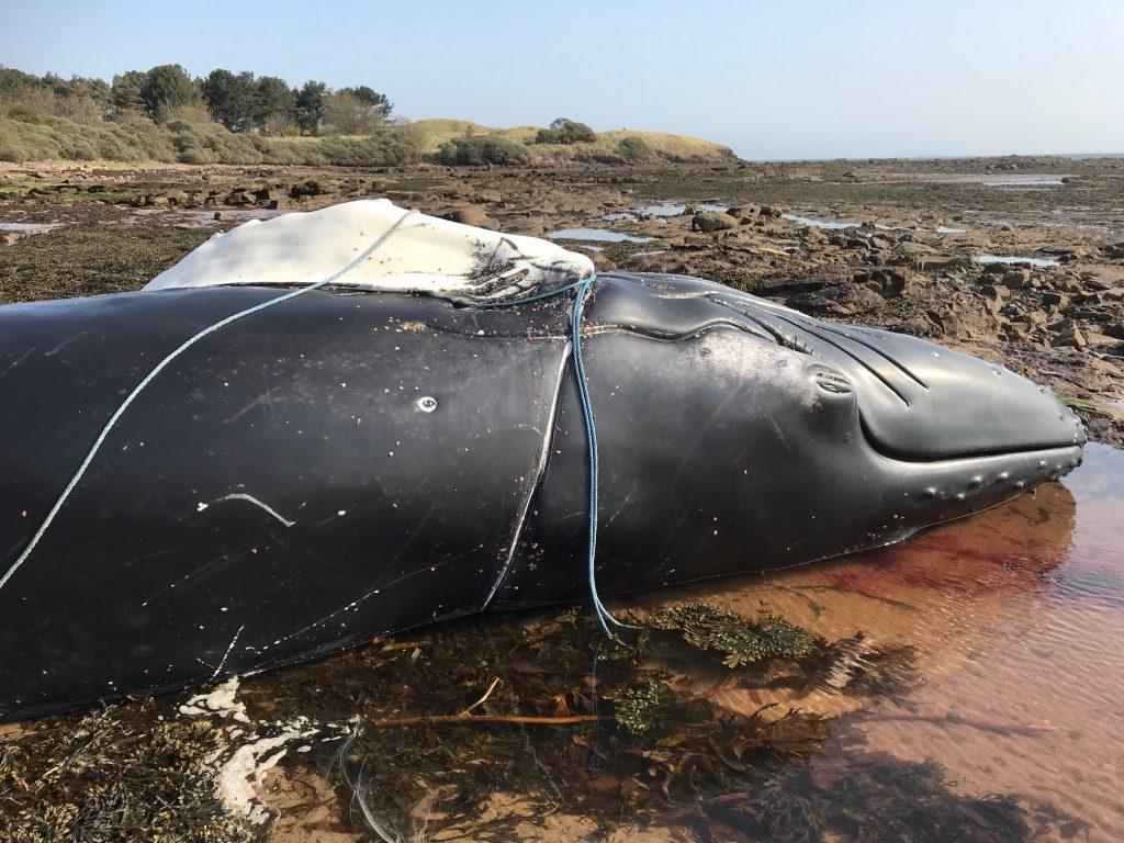 Humpback whale Dunbar, Scotland. Image East Lothian Ranger Service