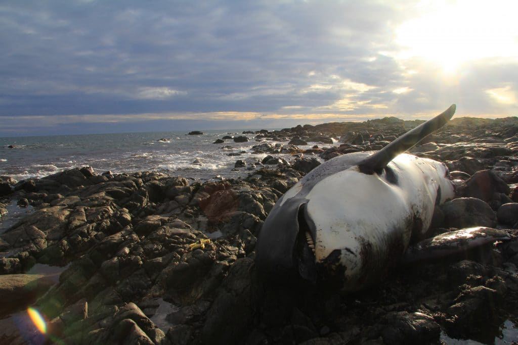 Orca named Lulu, Tiree, Scotland. Image SMASS