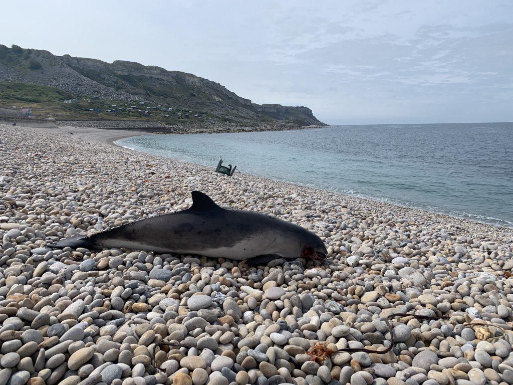 Porpoise, Chesil Beach, Dorset. Image CSIP-ZSL
