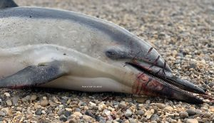 Common dolphin with injuries from fishing net