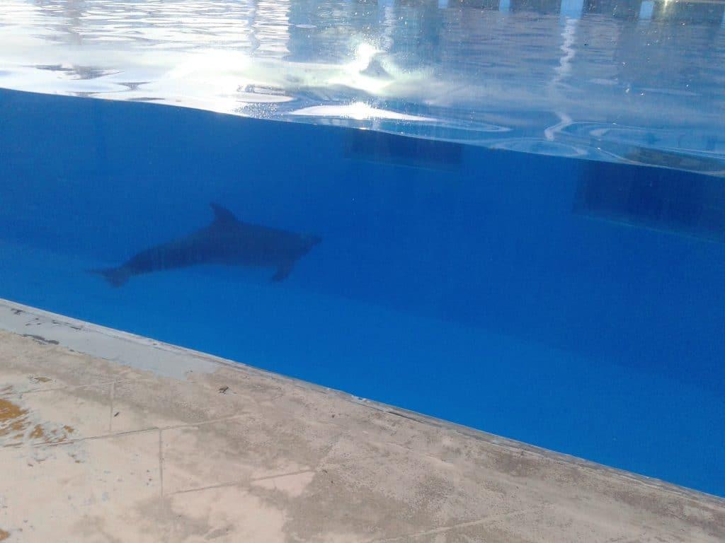 A captive bottlenose dolphin in Mexico