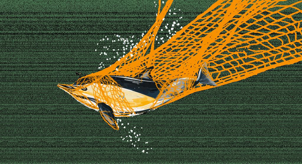 Dolphin in net