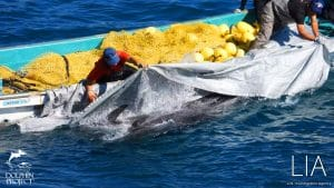 Risso's dolphins are captured in Taiji hunt. Image: LIA and Dolphin Project