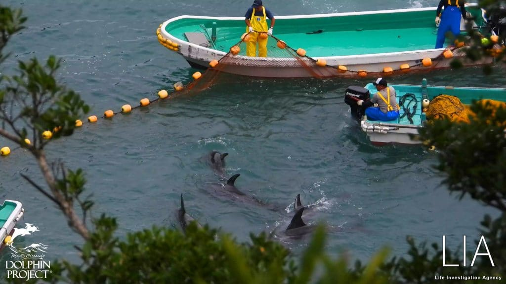 Taiji dolphins and boats 2 LIA and Dolphin Project
