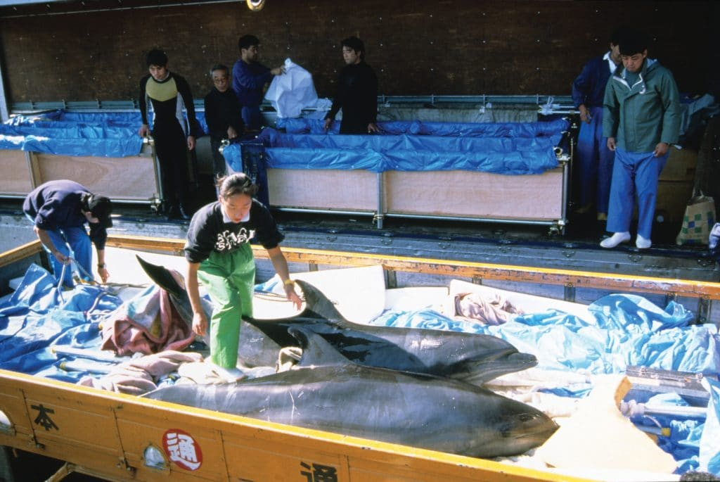 The hunts continue because of the money made from selling live dolphins to aquariums