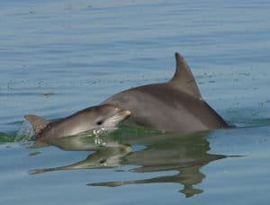 Indo-pacific bottlenose dolphin with her calf.
