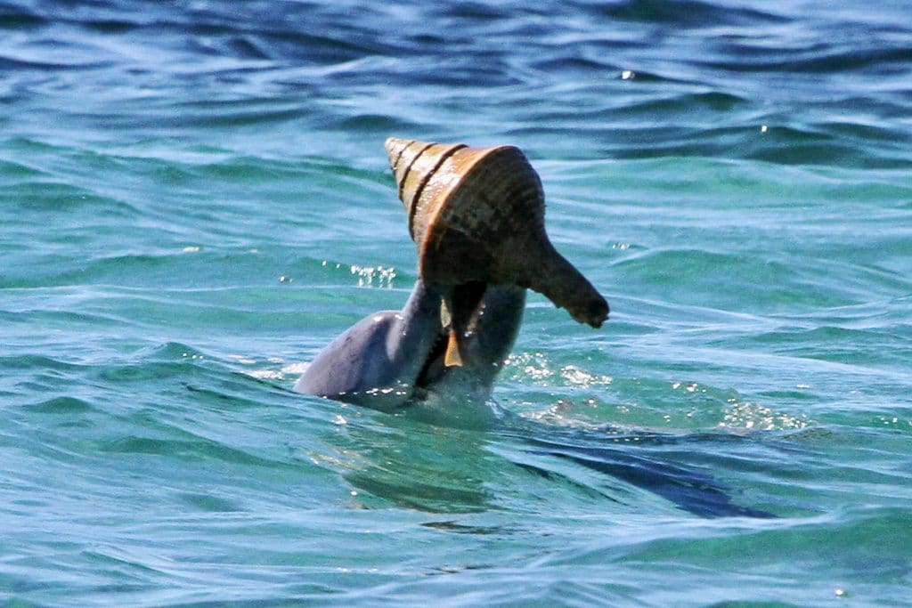 Dolphin holding a shell used as a tool