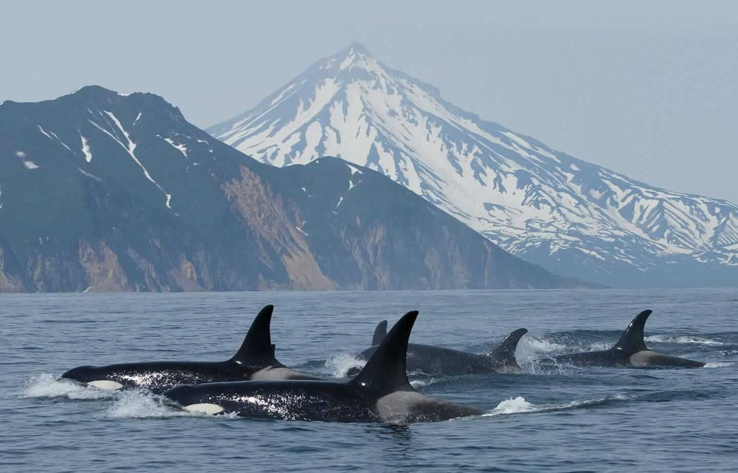 Group of orcas in Kamchatka, Russia