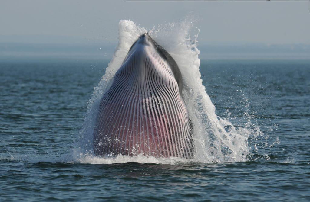 Minke whale © Ursula Tscherter ORES