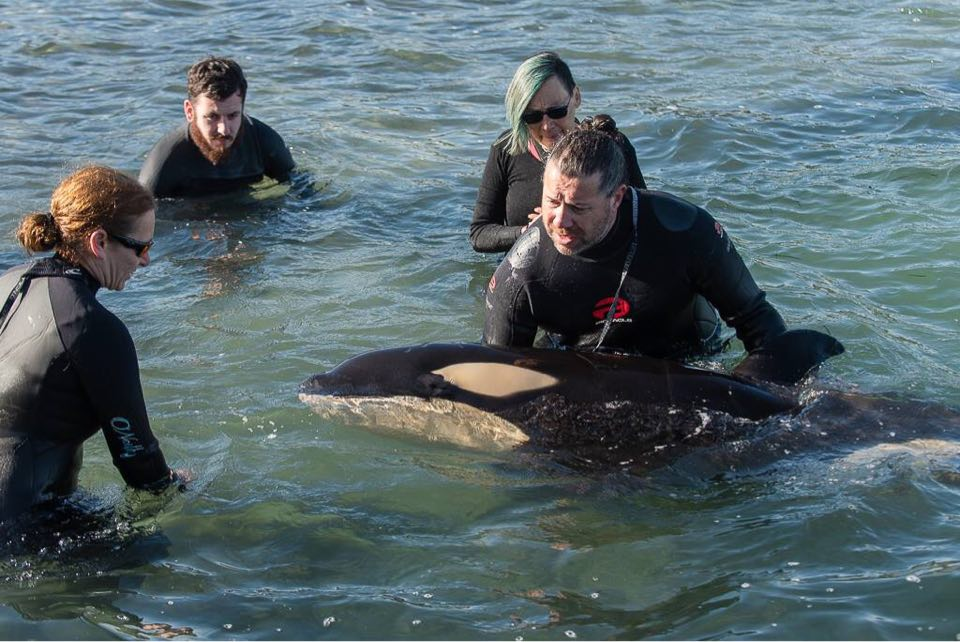 Rescuing an stranded orca calf in New Zealand