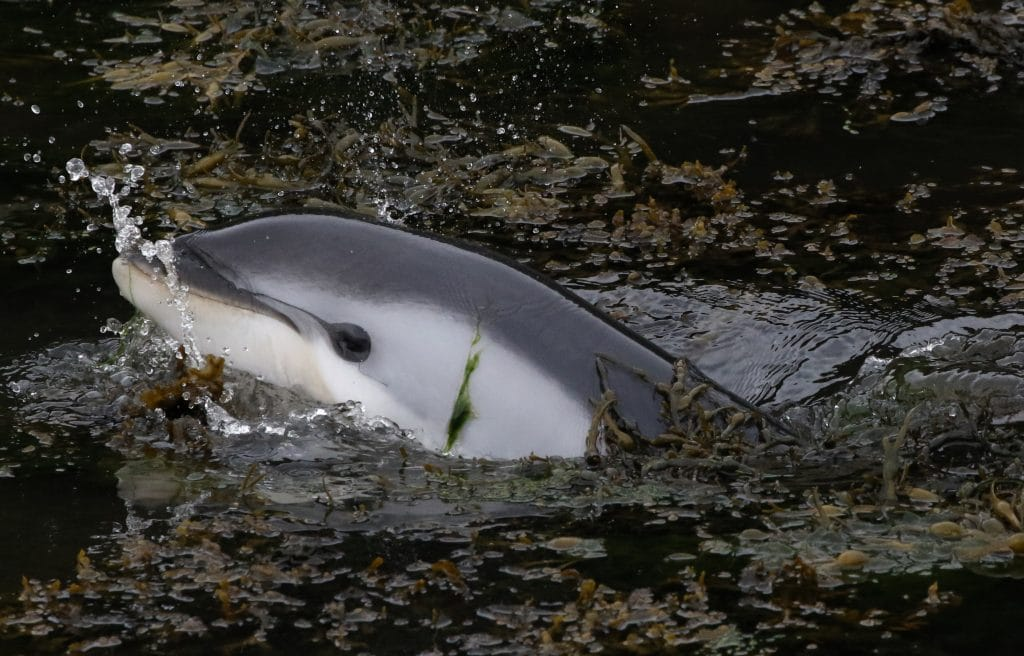 The baby dolphin got stranded in the kelp and mud
