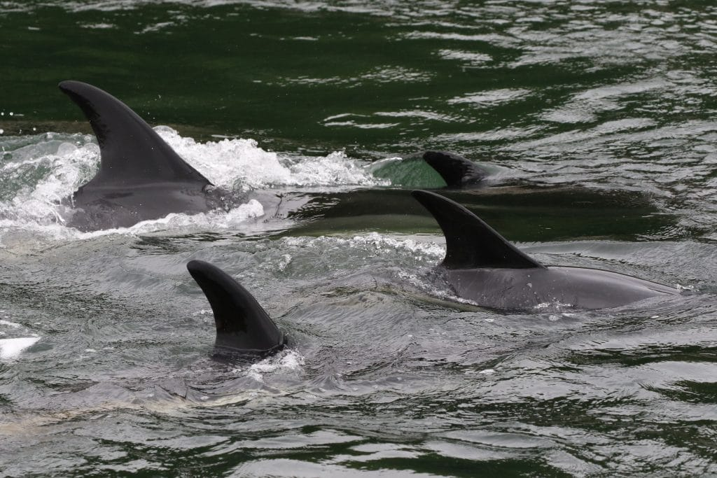 The dolphins were active and circling