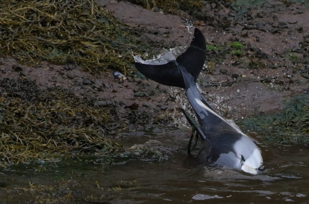 The adult dolphins got into trouble themselves when they tried to help the baby.
