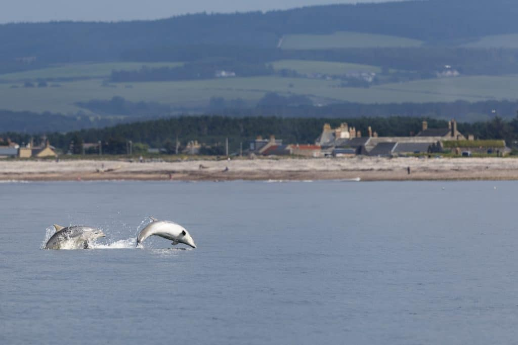 Young dolphins playing in front of our Scottish Dolphin Centre in northeast Scotland.