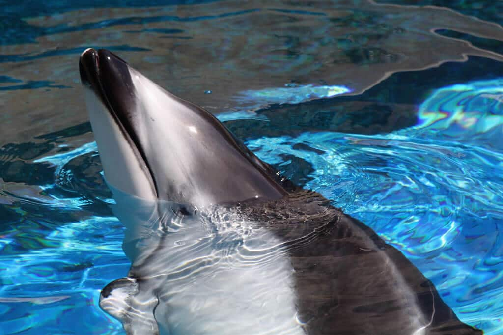 Helen - Pacific white-sided dolphin