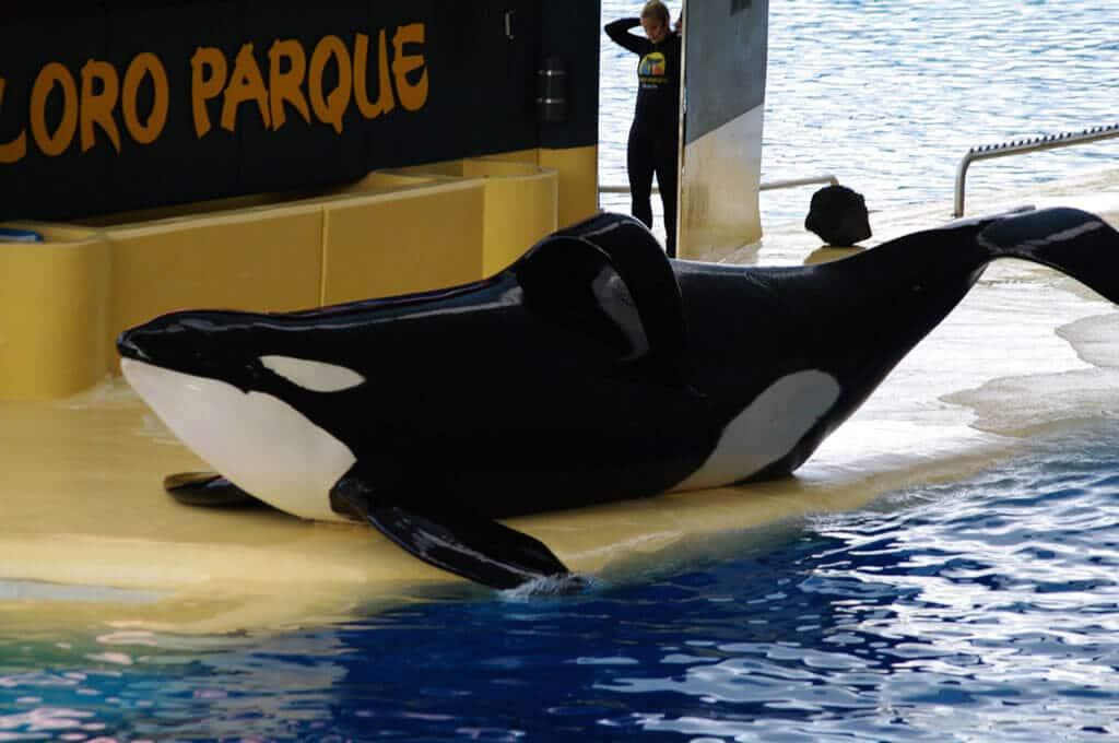 Orca Keto at Loro Parque