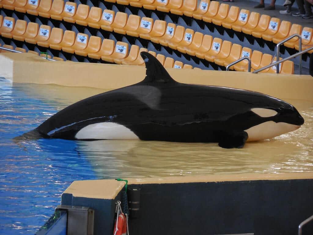 Orca Skyla at Loro Parque