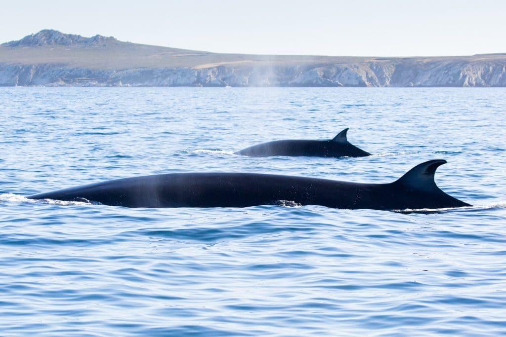 Sei whales