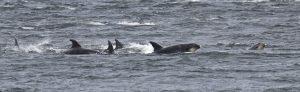 Bottlenose dolphins visit Cromarty