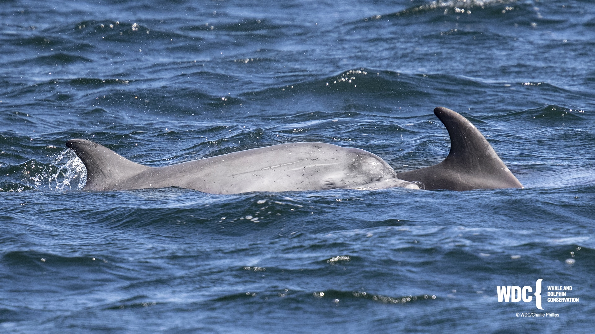 Former Moray Firth residents, Honey and calf, spotted in Weymouth