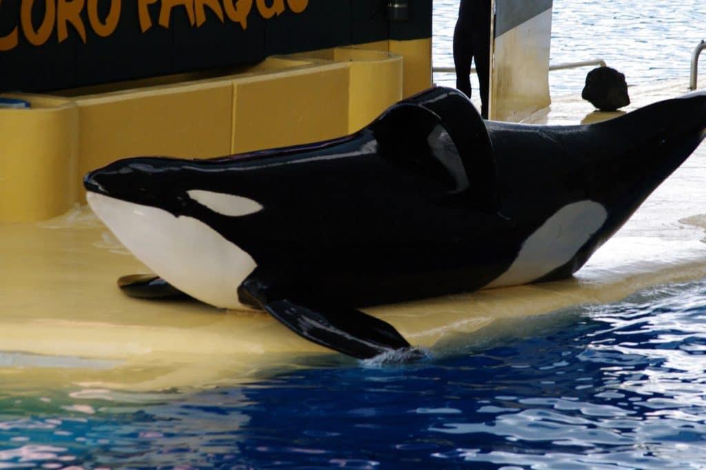 When I saw orca Keto at Loro Parque