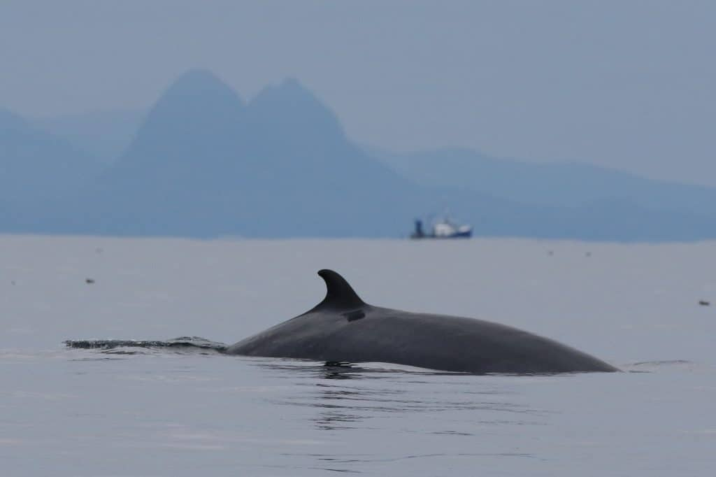 A majestic minke whale surfaces near our boat