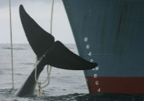 Antarctic minke whale alongside Japanese whaling ship.