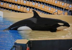Skyla the orca  -Loro Parque