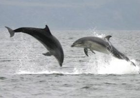 Two leaping bottlenose dolphins