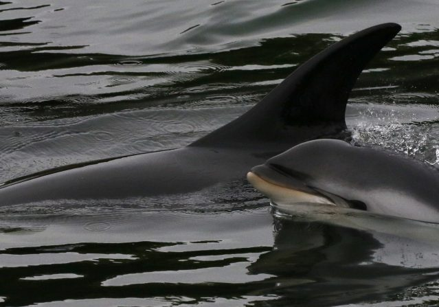 The dolphins, including a newborn, got into trouble in Stornaway Harbour - WDC/Nicola Hodgins