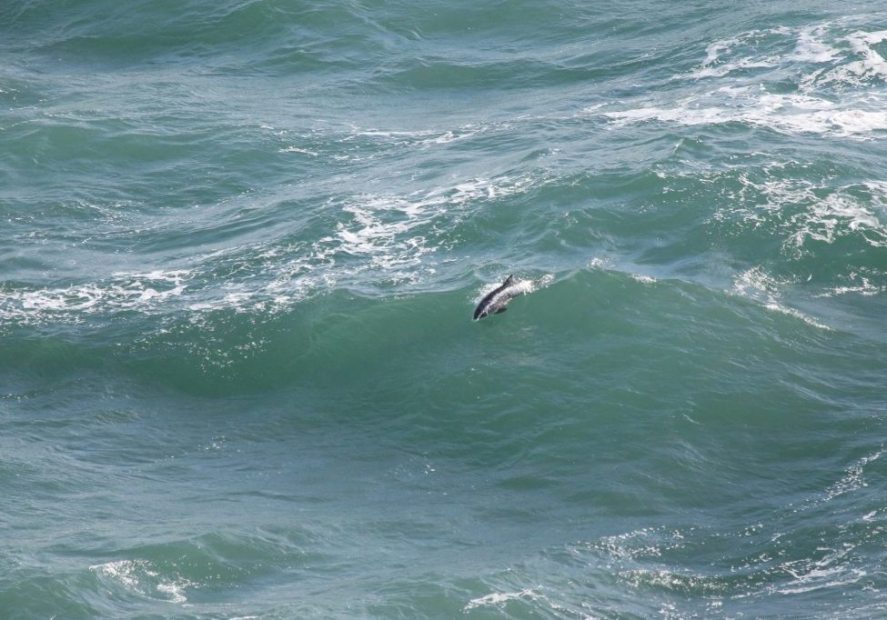 Surfing harbour porpoise