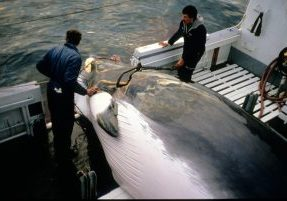 A minke whale is hauled aboard by hunters
