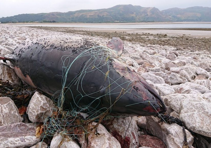 Porpoise, Conwy Wales. WDC