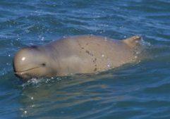 Australian snubfin dolphin © Guido Parra