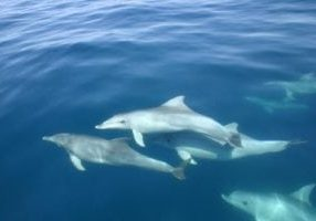 Bottlenose dolphins swimming wild and free