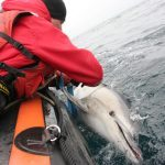 Common dolphin caught in fishing net