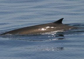 Fin whale at surface