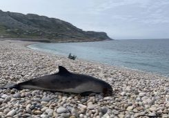 harbour-porpoise-chesil-beach-csip-zsl