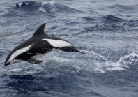 Hourglass dolphin © Louise Tomlinson