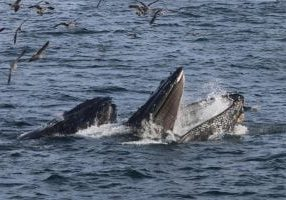 humpback_whales_lunge_feeding_colleen_weiler_-_wdc