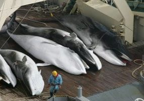 japanese_whaling_2005_-_minke_whales_credit_jeremy_sutton-hibbert_for_use_until_28.2.17_1