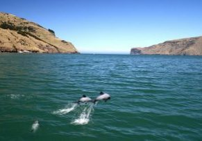 Two beautiful Hector's dolphins leap just off new Zealand's coast.