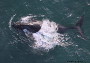 North Pacific right whale © Brenda Kone