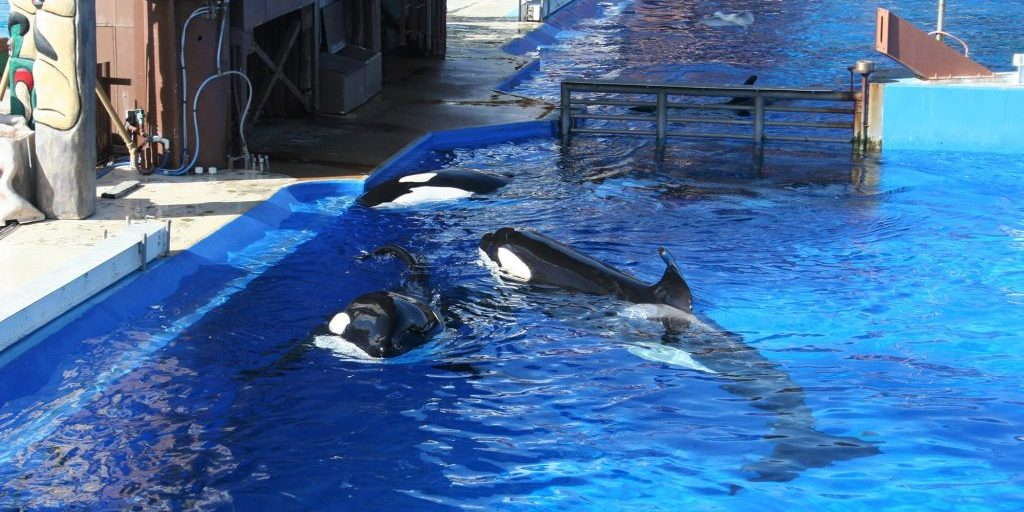 Orca group in captivity © Rob Lott/WDC