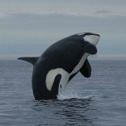 orcinus_orca-ferop_0